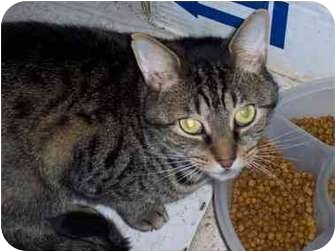 Domestic Shorthair Cat for adoption in Kingsport, Tennessee - George
