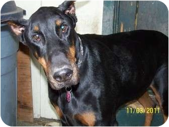 Doberman Pinscher Dog for adoption in Hayden, Idaho - Harley