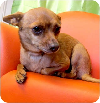 Chihuahua Mix Dog for adoption in Long Beach, California - Pete