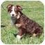 Photo 4 - Australian Shepherd Mix Puppy for adoption in Foster, Rhode Island - Ivy