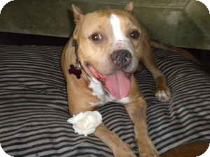 American Pit Bull Terrier Mix Dog for adoption in Encino, California - Rose