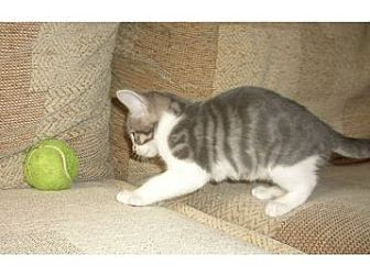 Domestic Shorthair Kitten for adoption in Troy, Michigan - Capote
