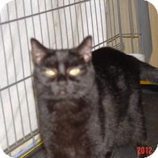 Domestic Shorthair Cat for adoption in Monroe, Georgia - Midnight
