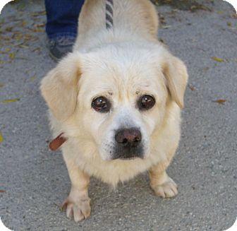 Corgi/Labrador Retriever Mix Dog for adoption in Lomita, California - Boomer (formerlyBon Bon)