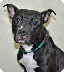 Pit Bull Terrier Dog for adoption in Port Washington, New York - Pearl