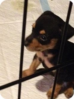 Miniature Pinscher/Terrier (Unknown Type, Small) Mix Puppy for adoption in Lake Forest, California - Dixie