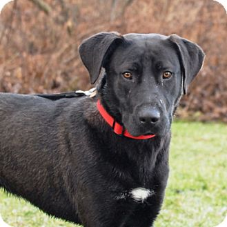 Labrador Retriever Mix Dog for adoption in Cincinnati, Ohio - Turbo