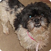 Adopt A Pet :: Shih Tzu - Aloha, OR