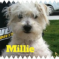 Adopt A Pet :: MILLIE - Mission Viejo, CA