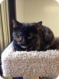 Domestic Mediumhair Cat for adoption in Austintown, Ohio - Mocha