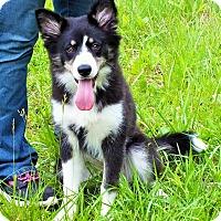 Adopt A Pet :: Shadow - Lebanon, CT