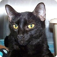 Domestic Shorthair Cat for adoption in Westville, Indiana - Mimi