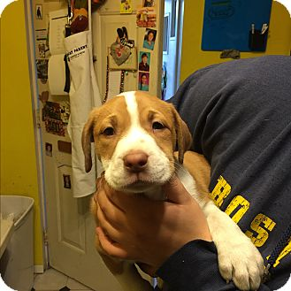 Labrador Retriever/American Bulldog Mix Puppy for adoption in Lyndhurst, New Jersey - Dallas