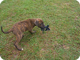 American Bulldog/Labrador Retriever Mix Puppy for adoption in Nashville, Georgia - Ike