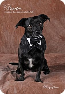 Chihuahua Mix Dog for adoption in Las Vegas, Nevada - Baxter
