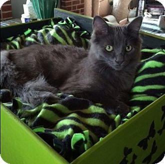Domestic Longhair Kitten for adoption in Wayland, Michigan - Bond (James Bond)