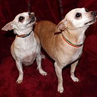 Chihuahua Dog for adoption in Va Beach, Virginia - Love Bug & Blossom