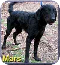 Flat-Coated Retriever/Chesapeake Bay Retriever Mix Dog for adoption in Aldie, Virginia - Mars