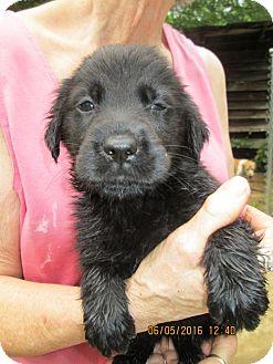 Golden Retriever/Rottweiler Mix Puppy for adoption in Lincolndale, New York - Pepper