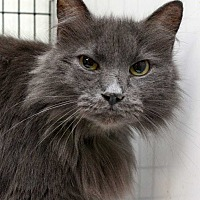 Domestic Longhair Cat for adoption in Fort Madison, Iowa - Mischief