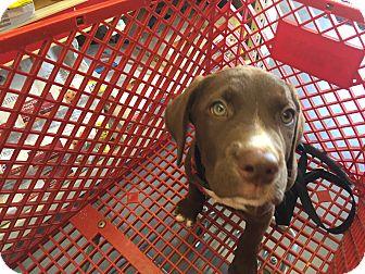 Labrador Retriever Mix Puppy for adoption in Lockhart, Texas - Murphy