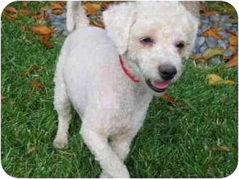 Bichon Frise Puppy for adoption in Simi Valley, California - Sugar