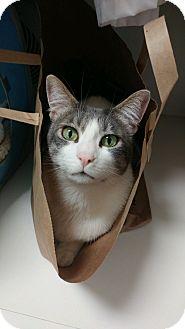 Domestic Shorthair Cat for adoption in Novato, California - Micah