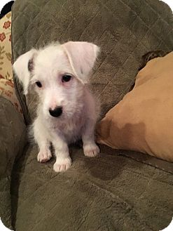 Corgi/Miniature Schnauzer Mix Puppy for adoption in Allentown, New Jersey - Olaf