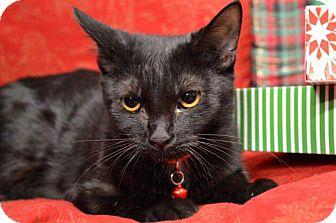 American Shorthair Kitten for adoption in Rockwood, Tennessee - CALI