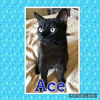 Domestic Shorthair Kitten for adoption in Arlington/Ft Worth, Texas - Ace