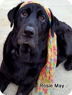 Labrador Retriever Dog for adoption in Torrance, California - Rosie May