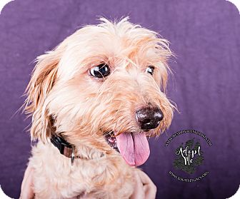 Yorkie, Yorkshire Terrier/Poodle (Miniature) Mix Dog for adoption in Cincinnati, Ohio - Mikey
