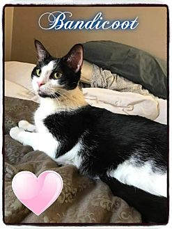 Domestic Shorthair Cat for adoption in Crown Point, Indiana - Bandicoot (Adoption Pending)
