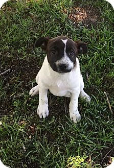 Terrier (Unknown Type, Medium)/Pointer Mix Puppy for adoption in Blountstown, Florida - Garnet