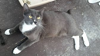 Domestic Shorthair Cat for adoption in Mims, Florida - Bunny