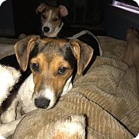 Adopt A Pet :: Lizzie - ST LOUIS, MO