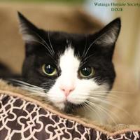 Adopt A Pet :: Dixie - Boone, NC