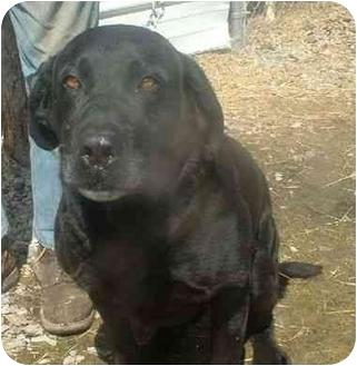 Labrador Retriever Dog for adoption in Makinen, Minnesota - Magnum