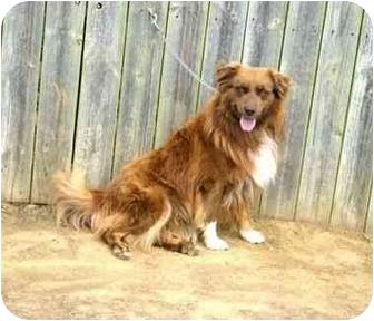 Collie Mix Dog for adoption in Muldrow, Oklahoma - Trusty II