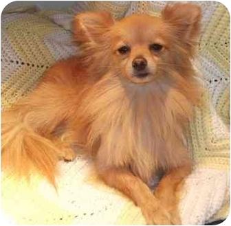 Pomeranian Mix Dog for adoption in Coudersport, Pennsylvania - OSCAR