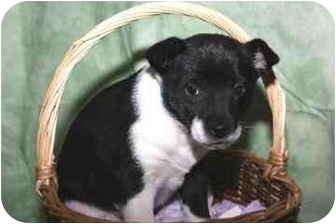Corgi/Collie Mix Puppy for adoption in Bel Air, Maryland - Pickles