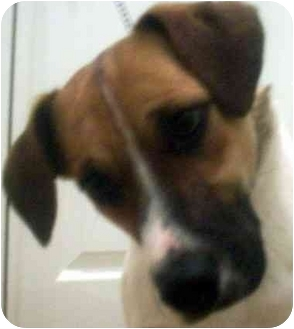 Terrier (Unknown Type, Medium) Mix Dog for adoption in Chapel Hill, North Carolina - Jello