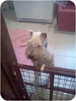 Schnauzer (Miniature) Mix Dog for adoption in North Benton, Ohio - Maxie