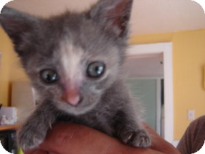 Domestic Shorthair Cat for adoption in Cleveland, Ohio - Possum