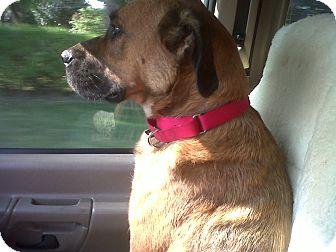 Boxer Mix Dog for adoption in Naperville, Illinois - Jack