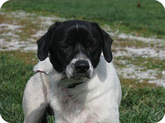 English Springer Spaniel/Beagle Mix Dog for adoption in Indianapolis, Indiana - Elwood