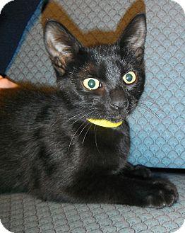 Domestic Shorthair Kitten for adoption in Jackson, Michigan - Squirrel