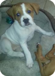 Mastiff/Boxer Mix Puppy for adoption in Marlton, New Jersey - Charlotte