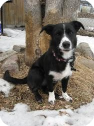 Border Collie/Corgi Mix Dog for adoption in Saskatoon, Saskatchewan - Abbey