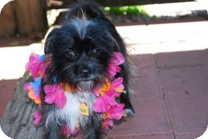 Shih Tzu/Terrier (Unknown Type, Small) Mix Dog for adoption in New Milford, Connecticut - Tina Turner